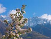 Apfelblütenwoche