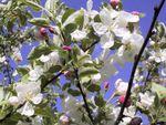 Die Zeit der Apfelblüte ist eine der schönsten im Meraner Land.Die Apfelwiesen verwandeln sich in ein weiß-rosa Meer aus wohlriechenden Blüten und bieten einen fantastischen Anblick für Wanderer und Naturgenießer.