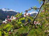 Apfelblüten-Erlebniswochen