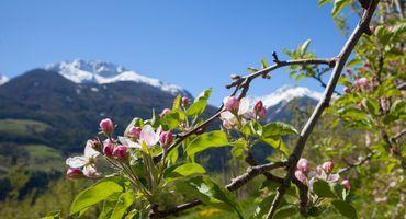Settimane dei meli in fiori