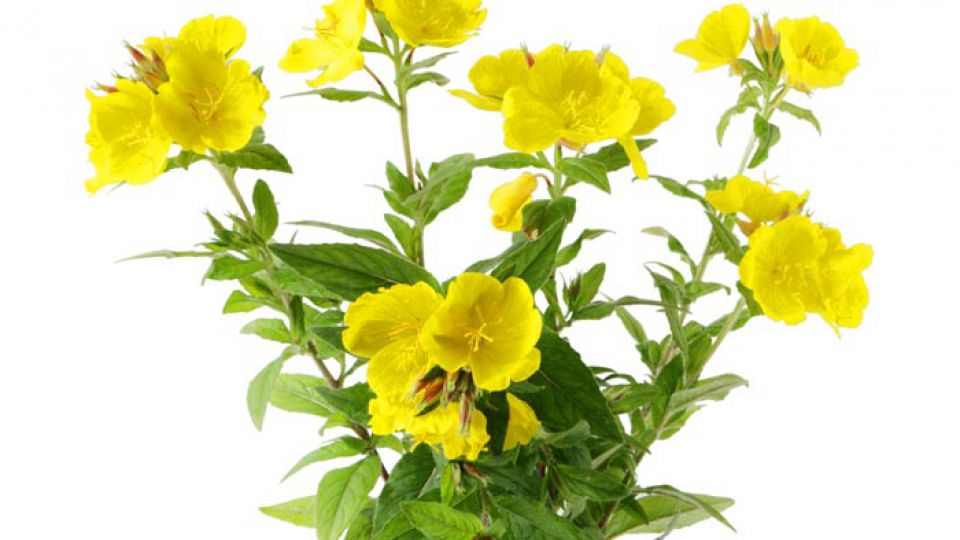 PACK TREATMENT WITH EVENING PRIMROSE OIL