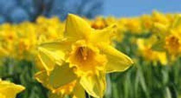 Settimana dei narcisi: primavera, benessere e sapori