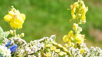 Blühende Blumen im Frühling im Schwarzwald