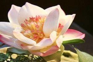 Lotusblüte