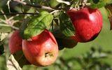 Apple & rose hip massage   Full body
