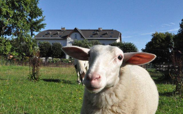Schaf Emma vor dem Gutshaus